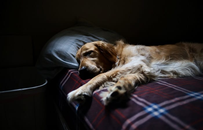 golden retriever sleeping in a human bed