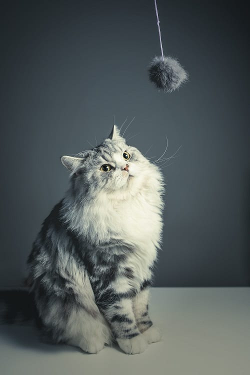 fluffy grey cat looking at a fluffy ball on a rope