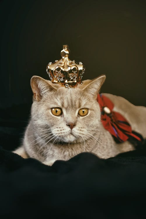 sitting cat wearing crown