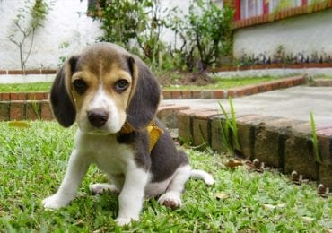 10 Best Dog Toys for Beagles