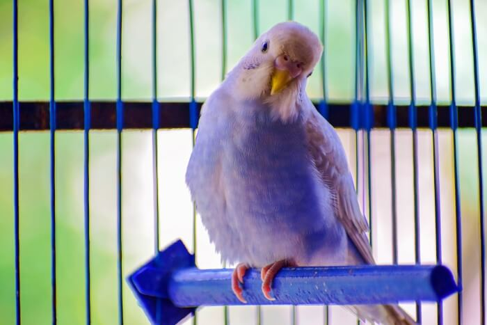 white bludgerigar on plastic swing in cage