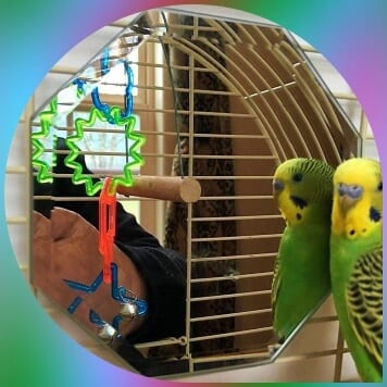octagon mirror in cage with parakeet looking in it