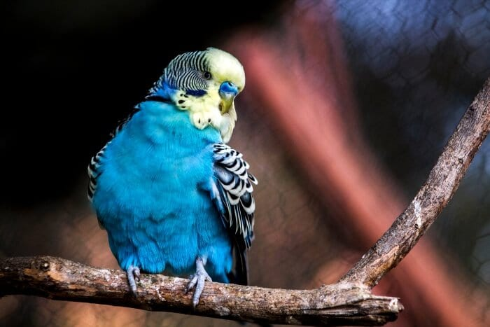 blue parakeet on branch
