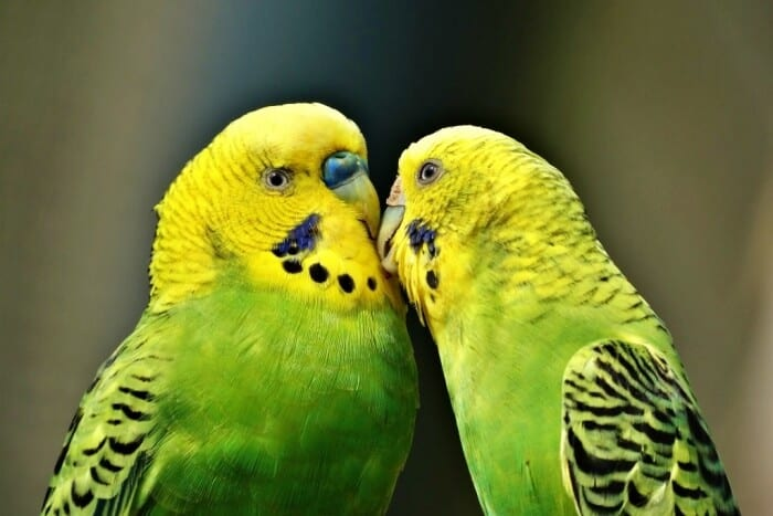 two green parakeets pecking wach other