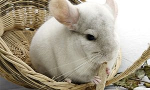 10 Best Chinchilla Toys