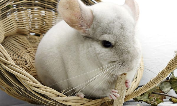10 Best Chinchilla Toys to Keep Your Furry Friend Both Mentally and Physically Stimulated