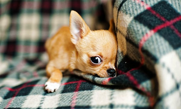 10 Best Toys for Chihuahuas