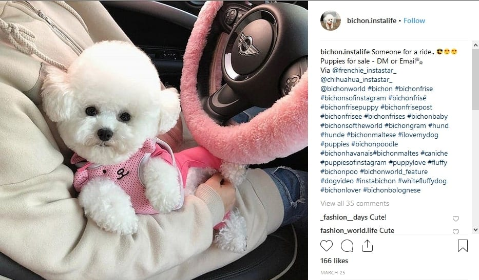 image from the bichon.instalife instagram