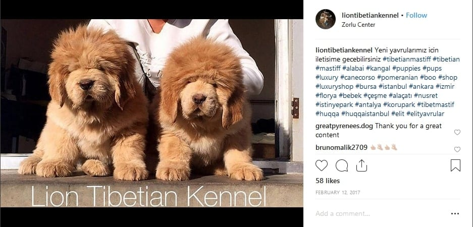 image from the liontibetiankennel instagram