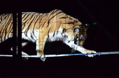 Circus Animal Cruelty at its Worst? Tiger Collapses in Seizures during Show