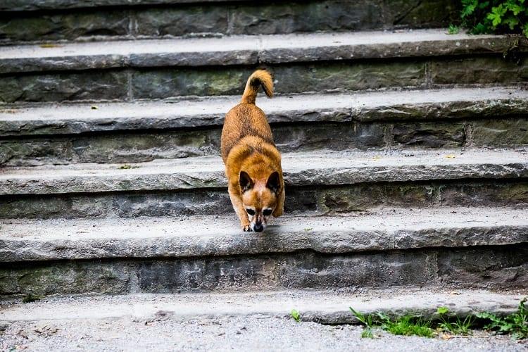 dog running down stone stairs