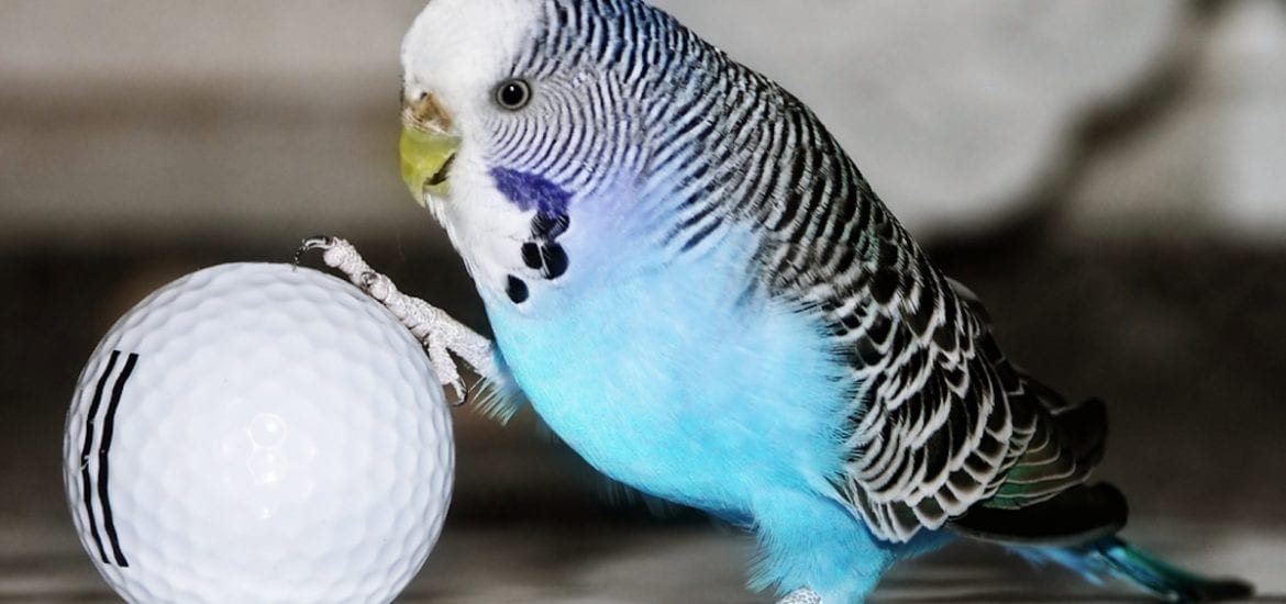 parakeet budgie with golf ball