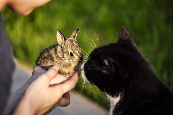 black cat meeting pet rabbit