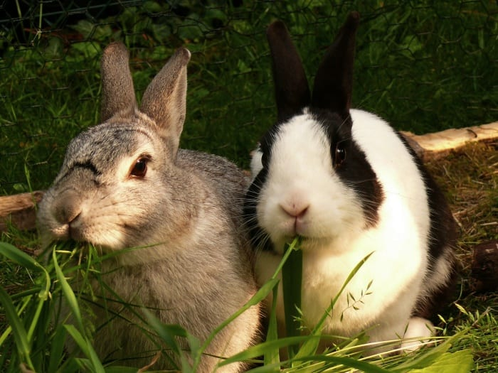 two pet rabbits eating greens