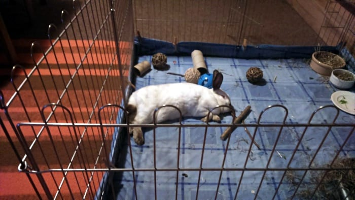 pet rabbit sleeping on blankets in pen