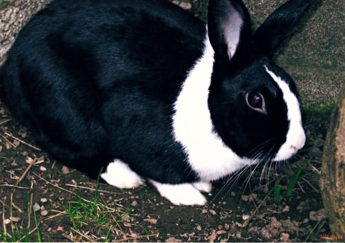 thumper the rabbit