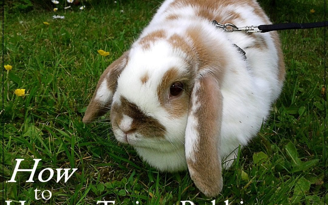 How to Harness Train Your Rabbit: 7 Things to DO!