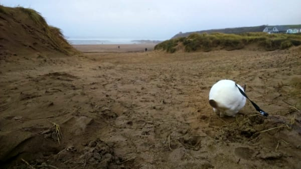 rabbit with leash in the sand