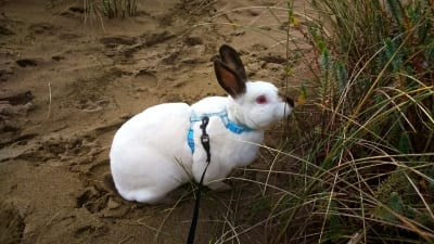 rabbit with h harness
