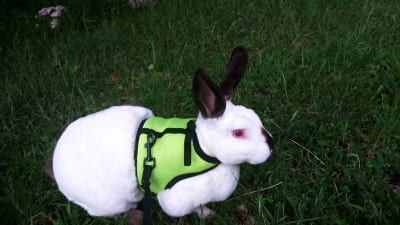 rabbit with vest harness