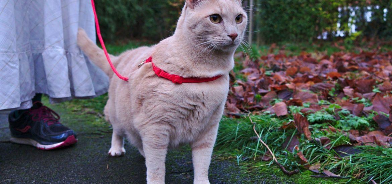 cat wearing best cat harness