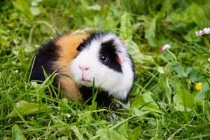 The Best Guinea Pig Shampoo to Help You Really Get Rid of Odors and Dirt