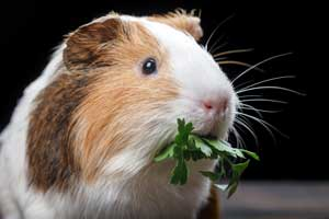 Best Guinea Pig Treats for Truly Special Snacks
