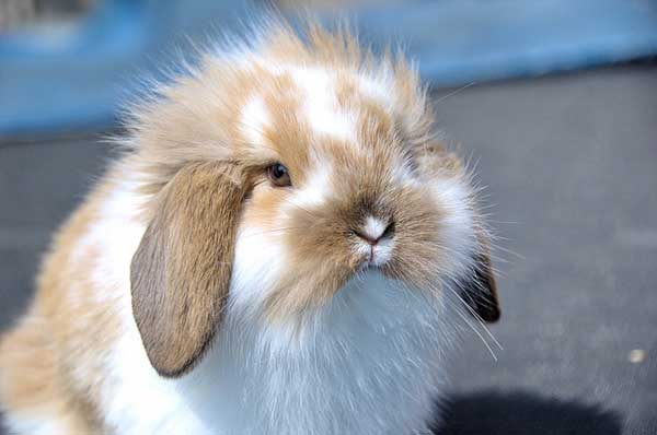 The Holland Lop