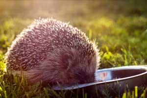 Best Food for Hedgehogs