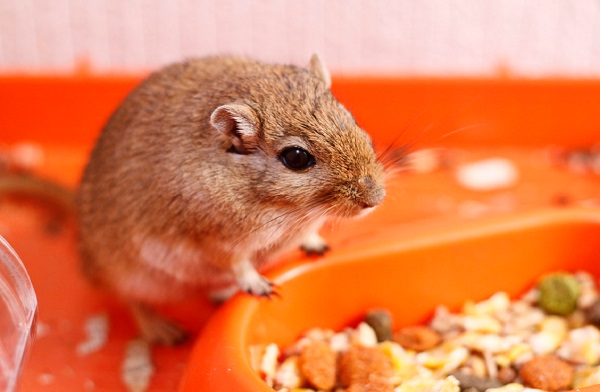 Best Gerbil Food: 10 Products to Kick Your Pet's Diet Up a Notch