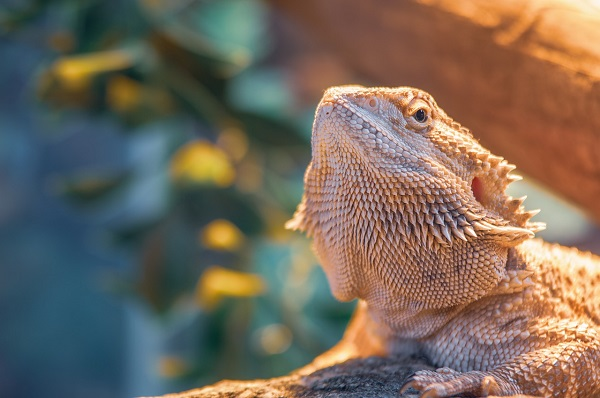 Best Bedding for Bearded Dragons