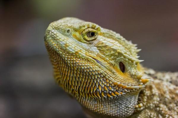 best diet for bearded dragons