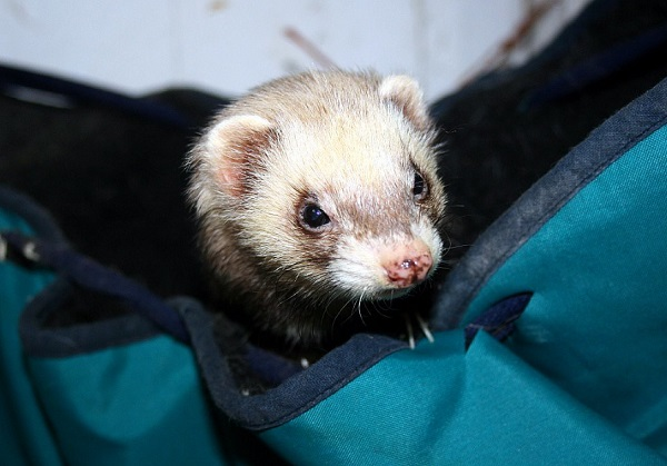 Best Ferret Hammocks: 8 Exquisite Products Reviewed