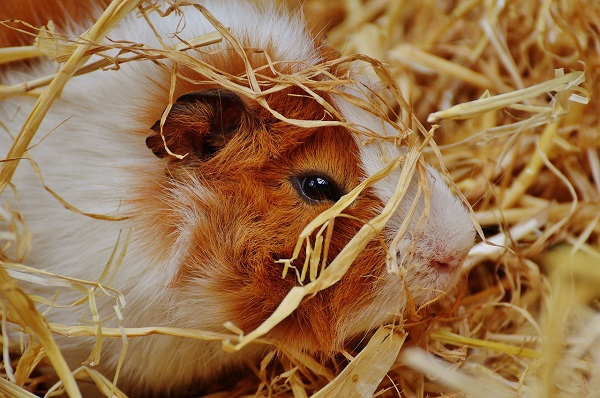 Best Guinea Pig Hay Options Ranked and Reviewed