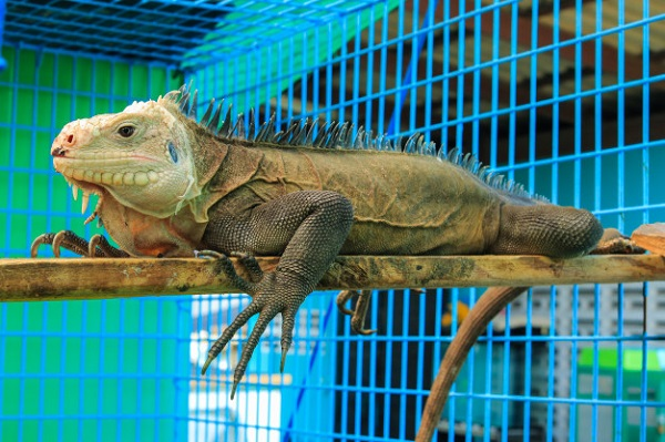 Best Iguana Cage: 10 Products Your Pet Can Call Home