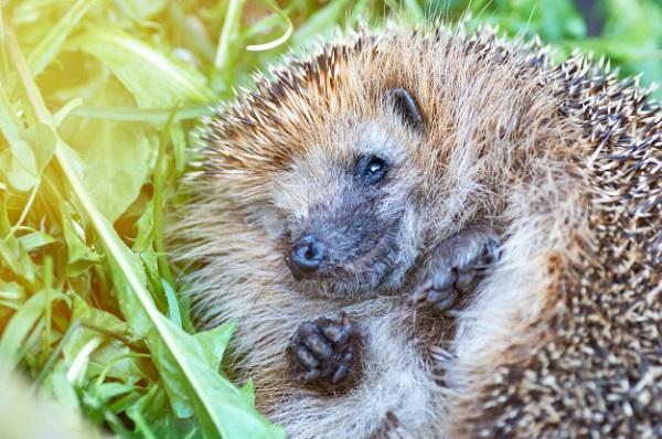 best litter for hedgehogs