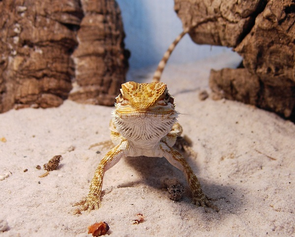Best Sand for Bearded Dragons: 10 Products Reviewed