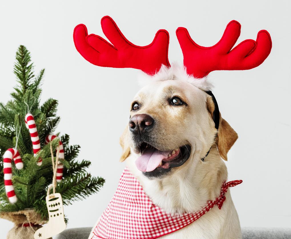 Labrador Retirever with deer antlers beside Christmas tree