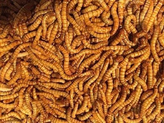 Predator Foods Live Mealworms